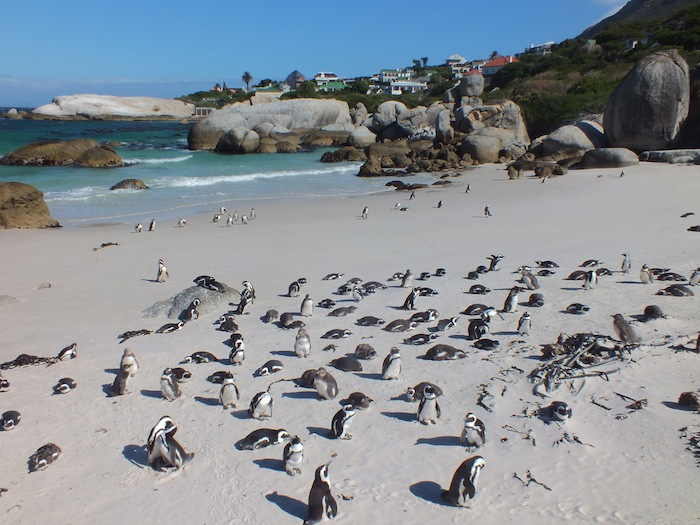 Boulders Beach - home of the African penguins 02