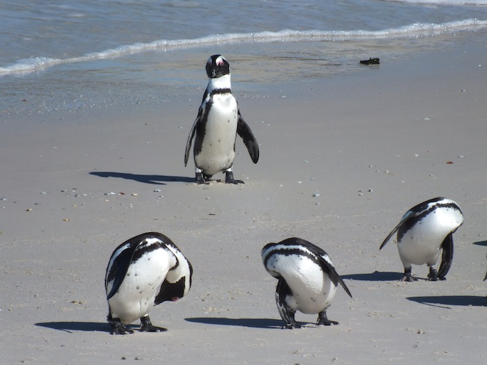 Boulders Beach - home of the African penguins 04