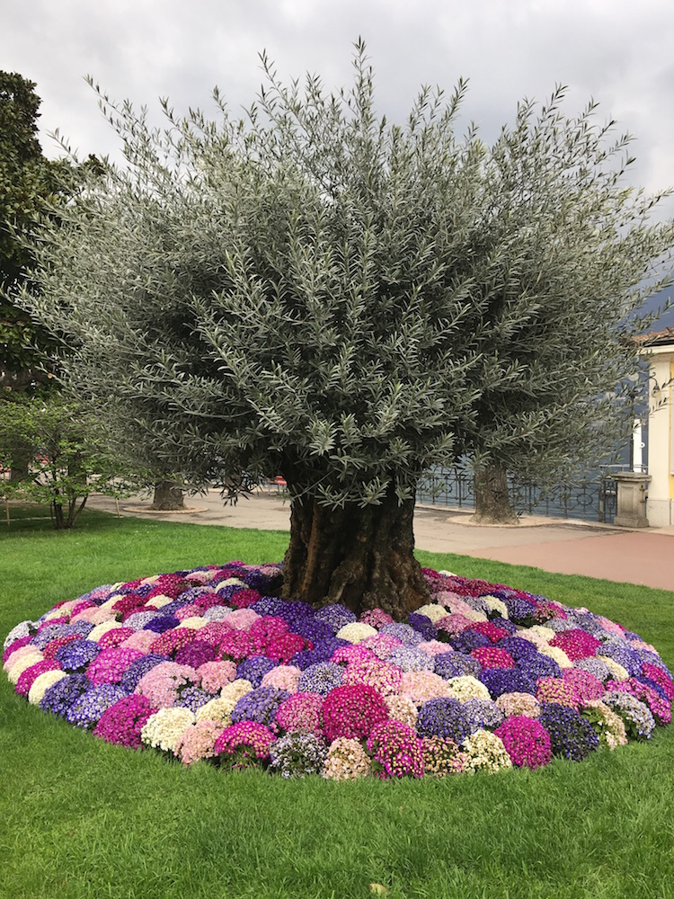 olive-tree-spring-flowers-10